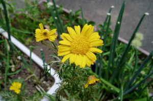 春菊2.jpg