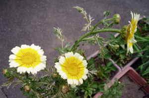 春菊1.jpg