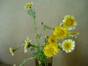 春菊3.jpg